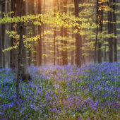 beautiful blooming bluebell forest