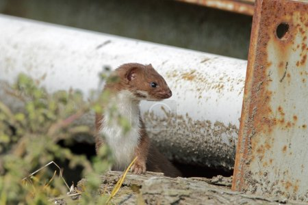 Weasel comes out the shelter