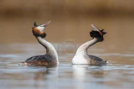 Red-necked Grebe birds