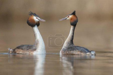 Red-necked Grebe birds