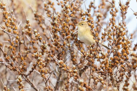 common chiffchaff on a twig