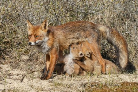 fox cubs suckling at mother fox