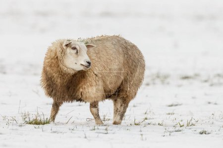 sheep in a meadow in winter time