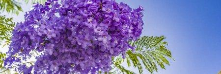 Photo pour Handroanthus impetiginosa couleur bleu Lila, Tabebuia avellanedae ou Handroanthus impetiginosus, Handroanthus impetiginosus. - image libre de droit