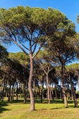 Pine tree forest in park