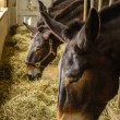 Amish country horse farm barn field agriculture in...
