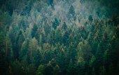 Pine dark creepy forest. Photo depicting dark misty pine tree ba