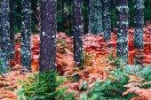 Colorful fall season pine dark creepy forest. Photo depicting au