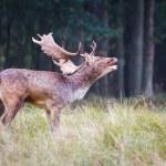 Roaring fallow deer during the rutting season...