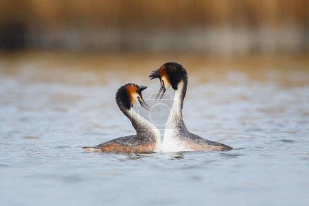 Great Crested Grebes in mating season
