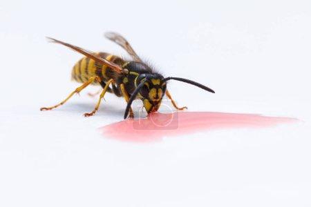 Wasp drinking red lemonade...