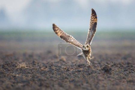 Short eared owl in fly