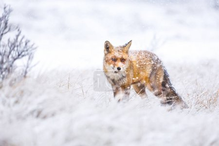 red cute fluffy fox in the snow