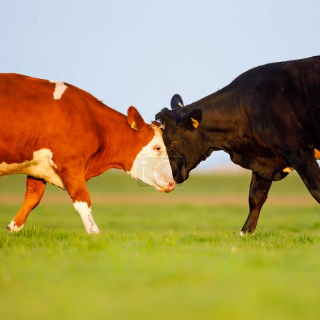 Photo for Two cows fighting while standing on green grass - Royalty Free Image