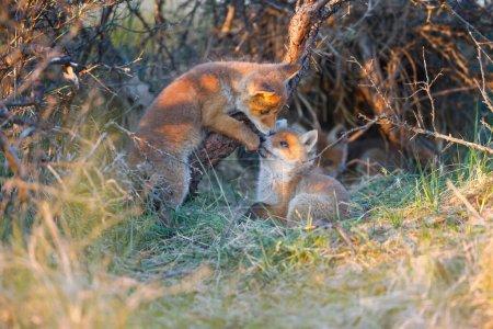Photo pour Deux renards roux sauvages sur la nature - image libre de droit