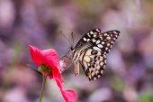 Vápno motýl na mexické slunečnice