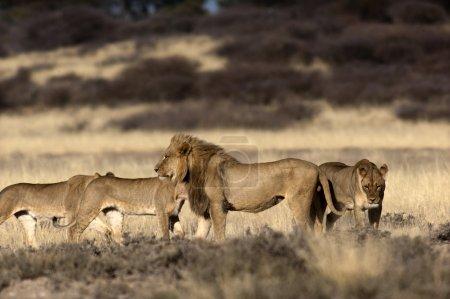 Pride of lions on Mpayathutlwa Pan, Kgalagadi Transfontier Park, Botswana