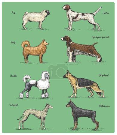 Dog breeds engraved, hand drawn vector illustratio...