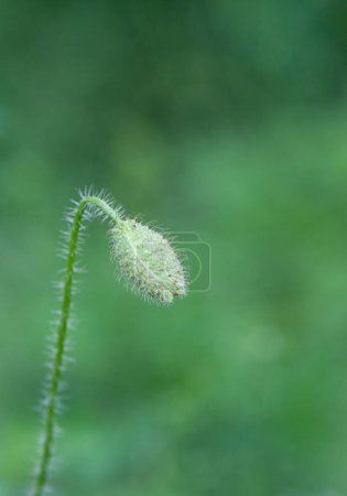 red poppy flower bud with beautiful green background