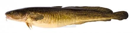 Photo pour Lotte de poissons d'eau douce prédateurs isolé sur blanc - image libre de droit