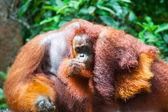 """Постер, картина, фотообои """"орангутанг Калимантан tanjung положить Национальный парк Индонезии"""""""