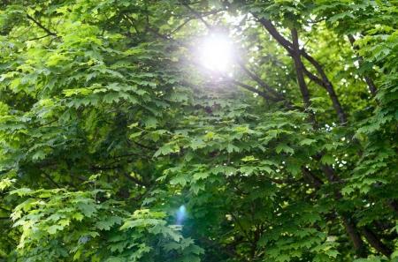 Photo pour Sun flare à travers les branches d'arbres feuillus vert printemps dans un fond de nature conceptuel des saisons - image libre de droit