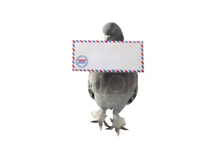 Photo for Gray pigeon carrying air mail envelope white background - Royalty Free Image