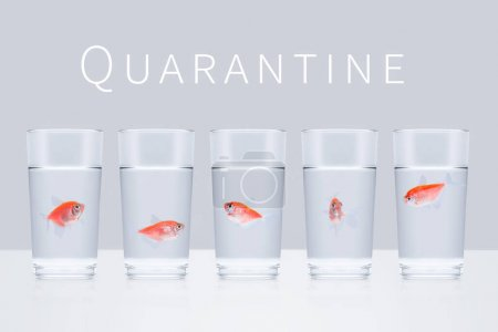 Photo for Five red aquarium fish swim in separate glasses on a gray background with the word Quarantine. Stay home, social distance, self isolation, quarantine concept - Royalty Free Image