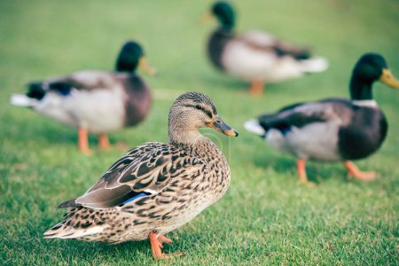 Domestic ducks on green grass