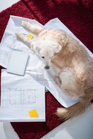 dog lying on blueprints near digital tablet