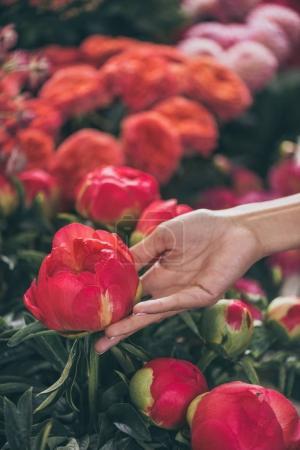 hand with beautiful peonies