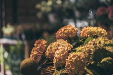 Foto de Vista cercana de hermosas flores de Hortensia en cesta de mimbre en la tienda de la flor - Imagen libre de derechos