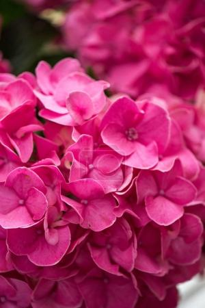 Photo for Close-up view of beautiful blooming pink hydrangea flowers - Royalty Free Image