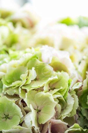 Foto de Vista de primer plano de hermosas flores de Hortensia - Imagen libre de derechos
