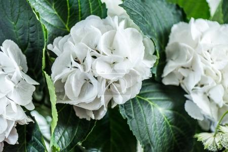 Photo for Close-up view of beautiful blooming white hydrangea flowers with green leaves - Royalty Free Image