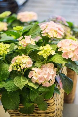 Photo pour Vue rapprochée de belles fleurs d'hortensia en fleurs dans le panier en osier à la boutique de fleurs - image libre de droit