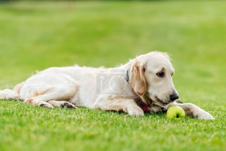 Dog with apple lying on grass