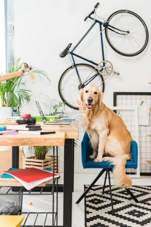 funny dog sitting on blue chair at home and looking at camera