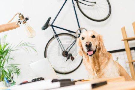 Foto de Divertido perro sentado en la mesa en casa y mirando a cámara - Imagen libre de derechos