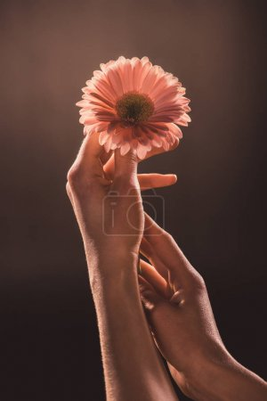 cropped view of woman holding gerbera flower, on brown