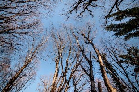 Photo pour Vue de dessous de grands vieux arbres en hiver des forêts ciel bleu en arrière-plan. Azerbaïdjan, Caucase - image libre de droit