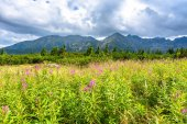Green landscape in mountains, hills, pine trees and meadow with spring grass, Carpathians, Tatra National Park in Poland
