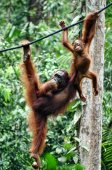 Great Apes hang between branches of tree in the forest.