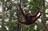 Great Ape hang between branches of tree in the forest.